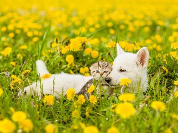 Hond en kat tussen de paardebloemen.