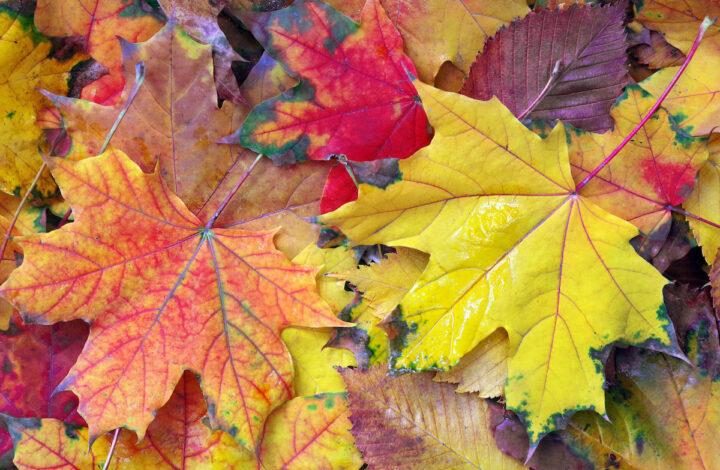 Esdoornbladeren met herfstkleuren op de grond.