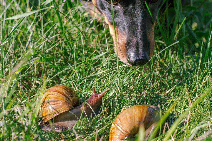 Een hond die aan twee slakken snuffelt.